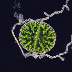 M. thomasiana